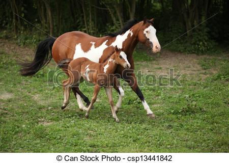 Stock Photo of Paint horse mare with adorable foal on pasturage in.