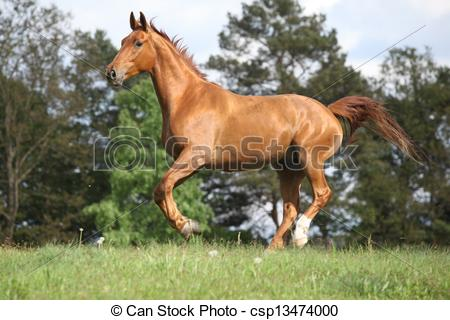 Stock Photography of Running horse with beautiful chestnut color.