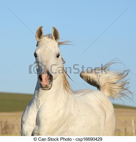Stock Photo of Gorgeous arabian horse running on autumn pasturage.