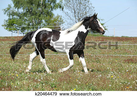 Stock Photograph of Gorgeous paint horse running on flowered.