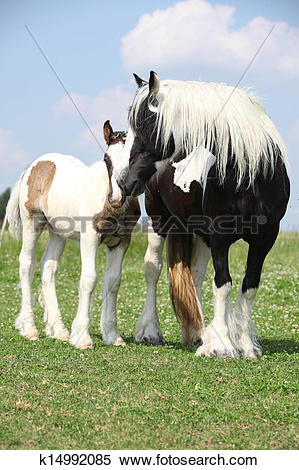 Stock Image of Nice irish cob mare with foal on pasturage.
