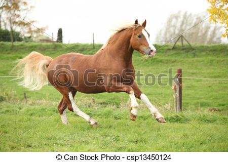 Stock Photo of Chestnut welsh pony with blond hair running on.