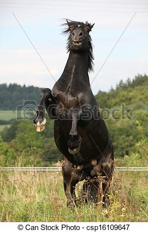 Stock Photo of Angry black horse on pasturage.