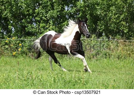 Stock Photo of Paint horse running on pasturage in front of some.