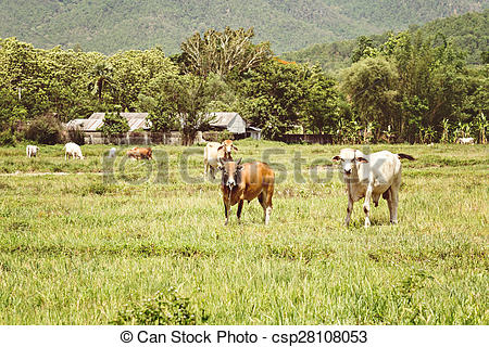 Stock Images of cows on pasture land vintage style csp28108053.
