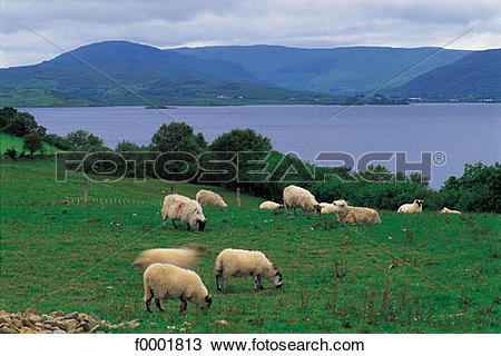 Stock Photo of sheep, pasture land, cattle, landscape, landscapes.