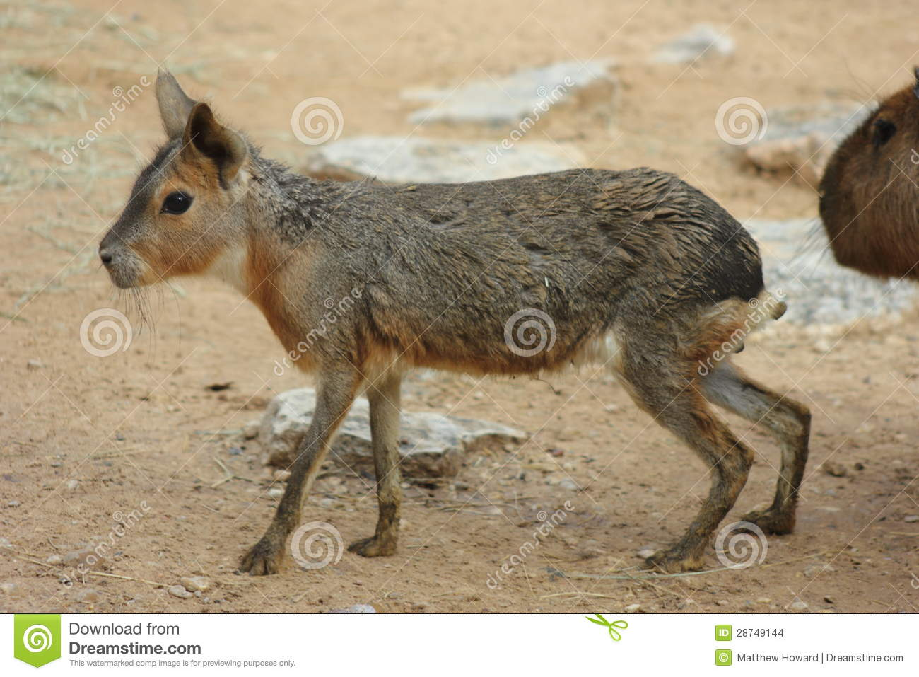 Patagonian Cavy Stock Images.