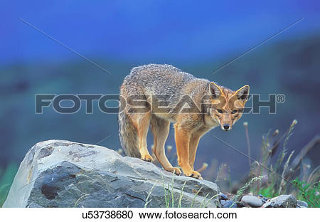 Stock Photography of Patagonian red fox (Dusicyon culpaeus.