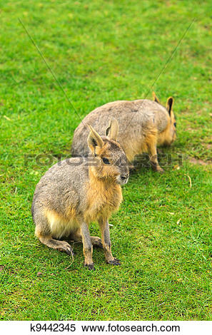 Stock Image of Patagonian Hare k9442345.