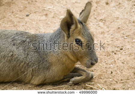 Patagonian Hare Stock Photos, Royalty.