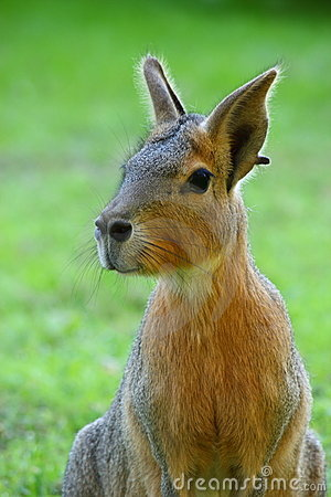 Patagonian Hare Stock Photo.
