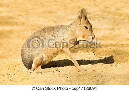 Stock Photographs of Mara or Patagonian hare csp17126094.