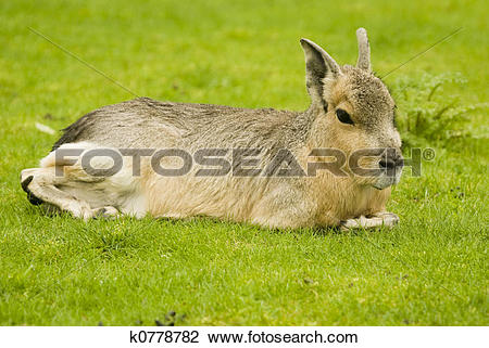 Stock Photo of Patagonian Hare k0778782.