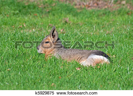 Stock Image of Patagonian mara k5929875.