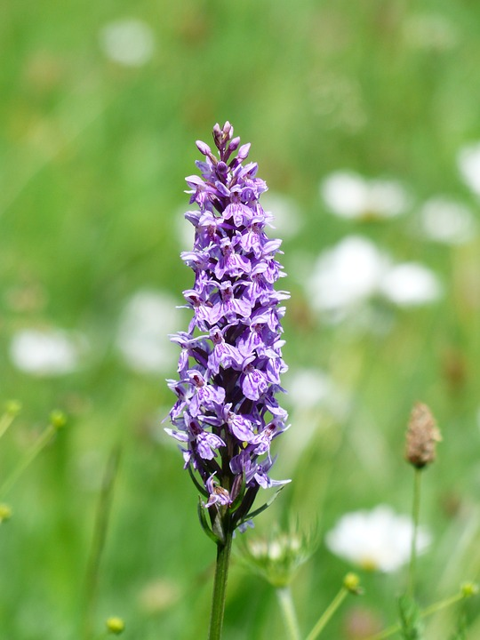 Free photo: Heath Spotted Orchid, Orchid.