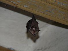 Do bats eat caterpillars?.