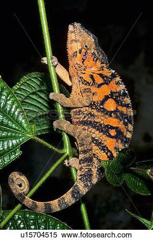 Stock Image of Panther chameleon (Furcifer pardalis), Madagascar.