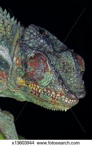Stock Photo of Panther chameleon (Chamaeleo pardalis), (Close.