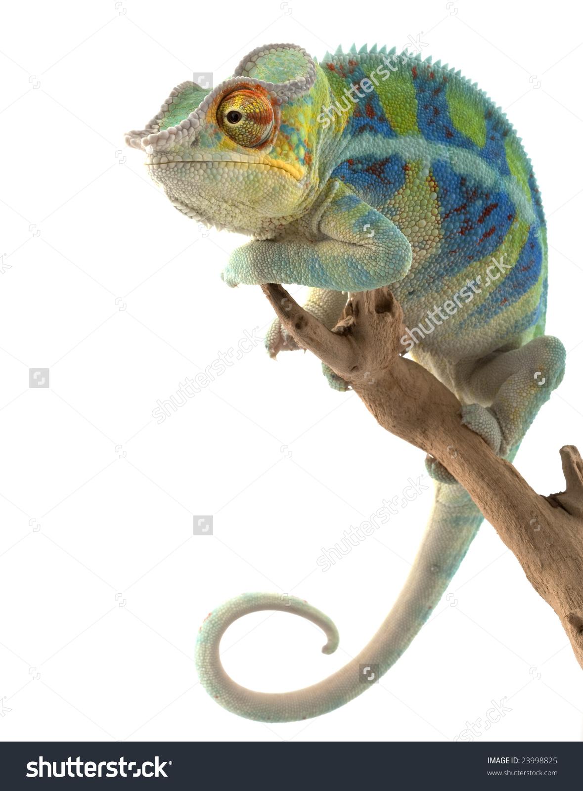 Ambanja Panther Chameleon Furcifer Pardalis Isolated Stock Photo.