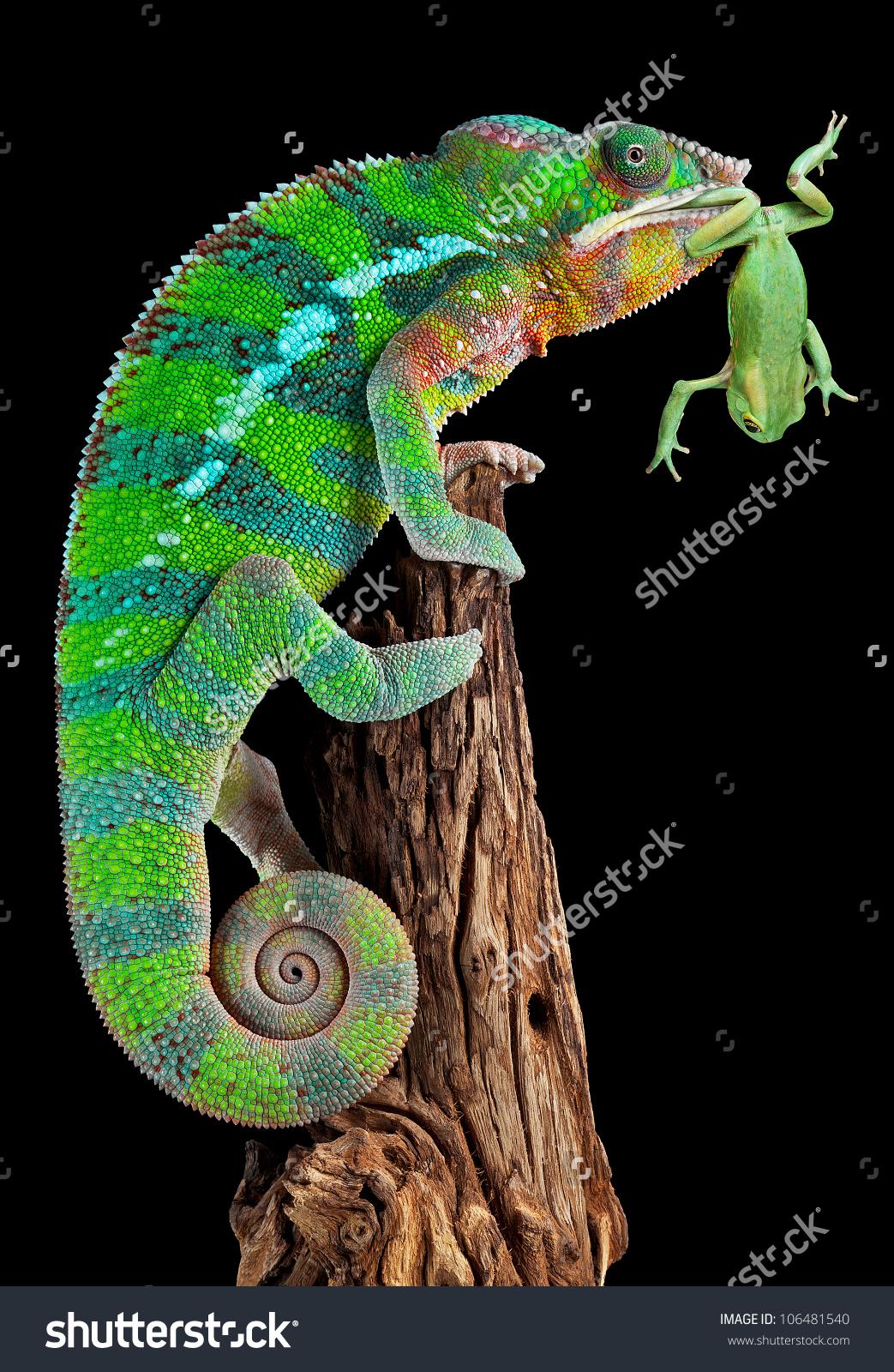 Male Panther Chameleon Holding Waxy Monkey Stock Photo 106481540.