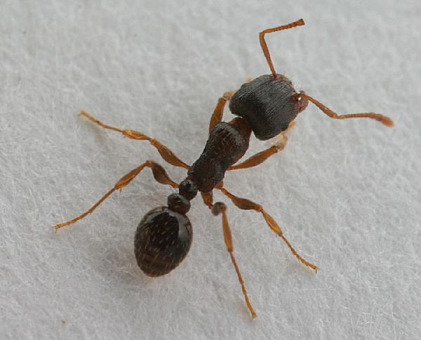 Pavement Ants Love Fritos! And Have Big Nests!.