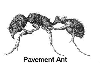 Pavement Ant: Description, Pavement Ant Control.