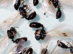 How to get rid of pavement ants: Keeping Pavement Ants at Bay.