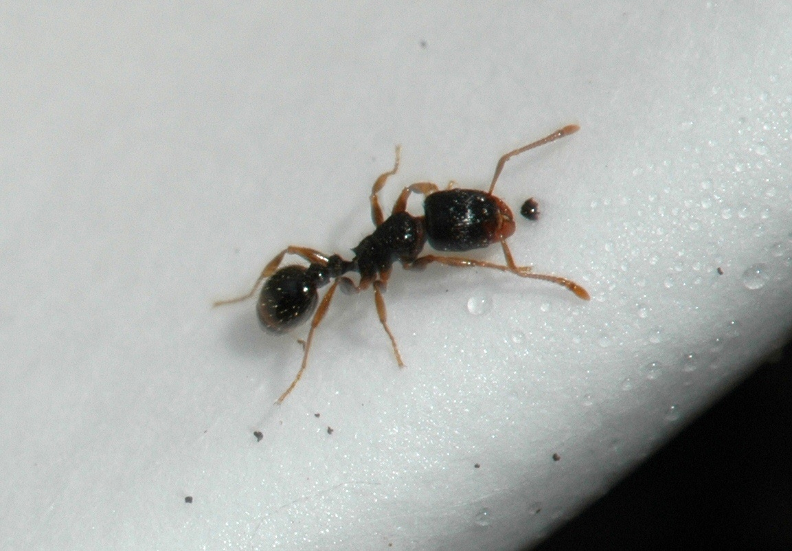 Pavement Ants in Homes During Winter : Yard and Garden News.