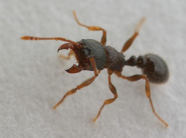 Pavement Ant Control.
