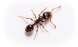 Identify & Learn About Pavement Ants.