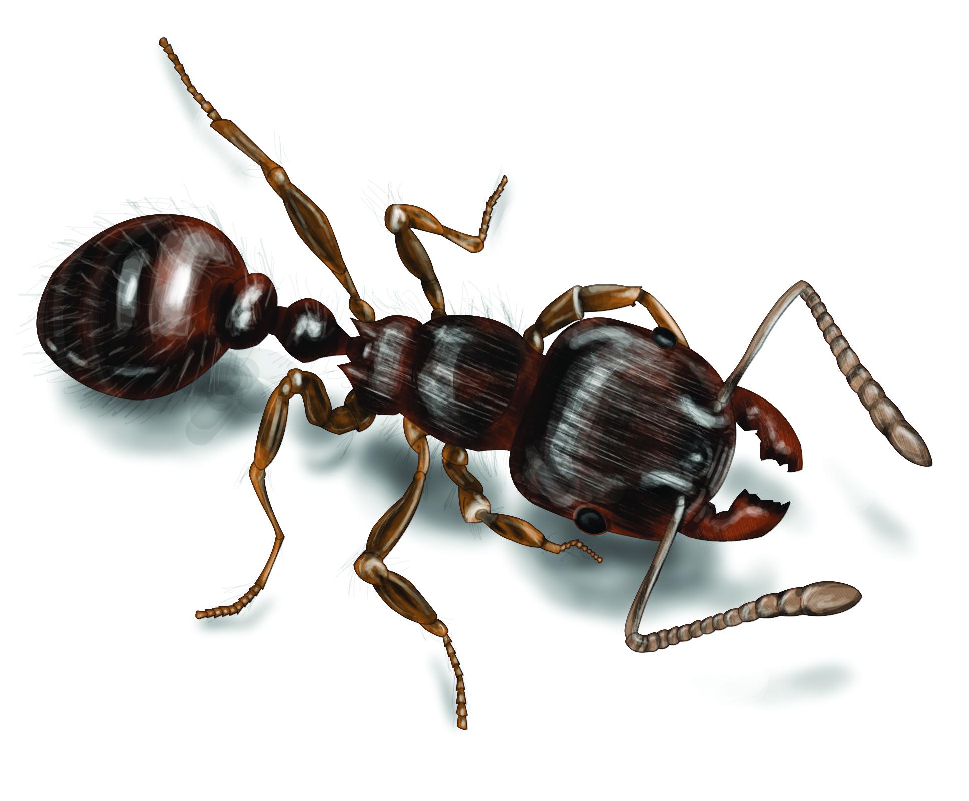 Pavement Ants.
