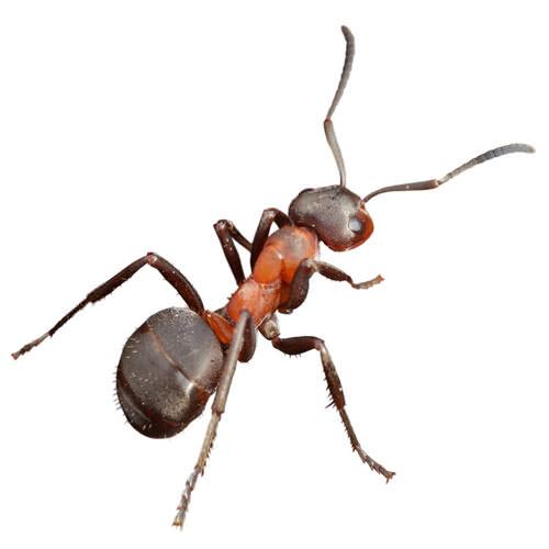 Pavement Ants: Control & Extermination In Marietta, Atlanta.