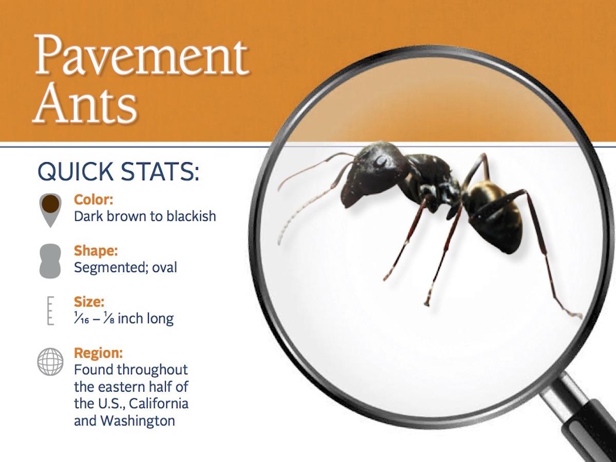 Pavement Ant Control: Pavement Ants Pest Guide Profile.