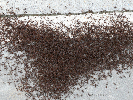 Pavement Ants.