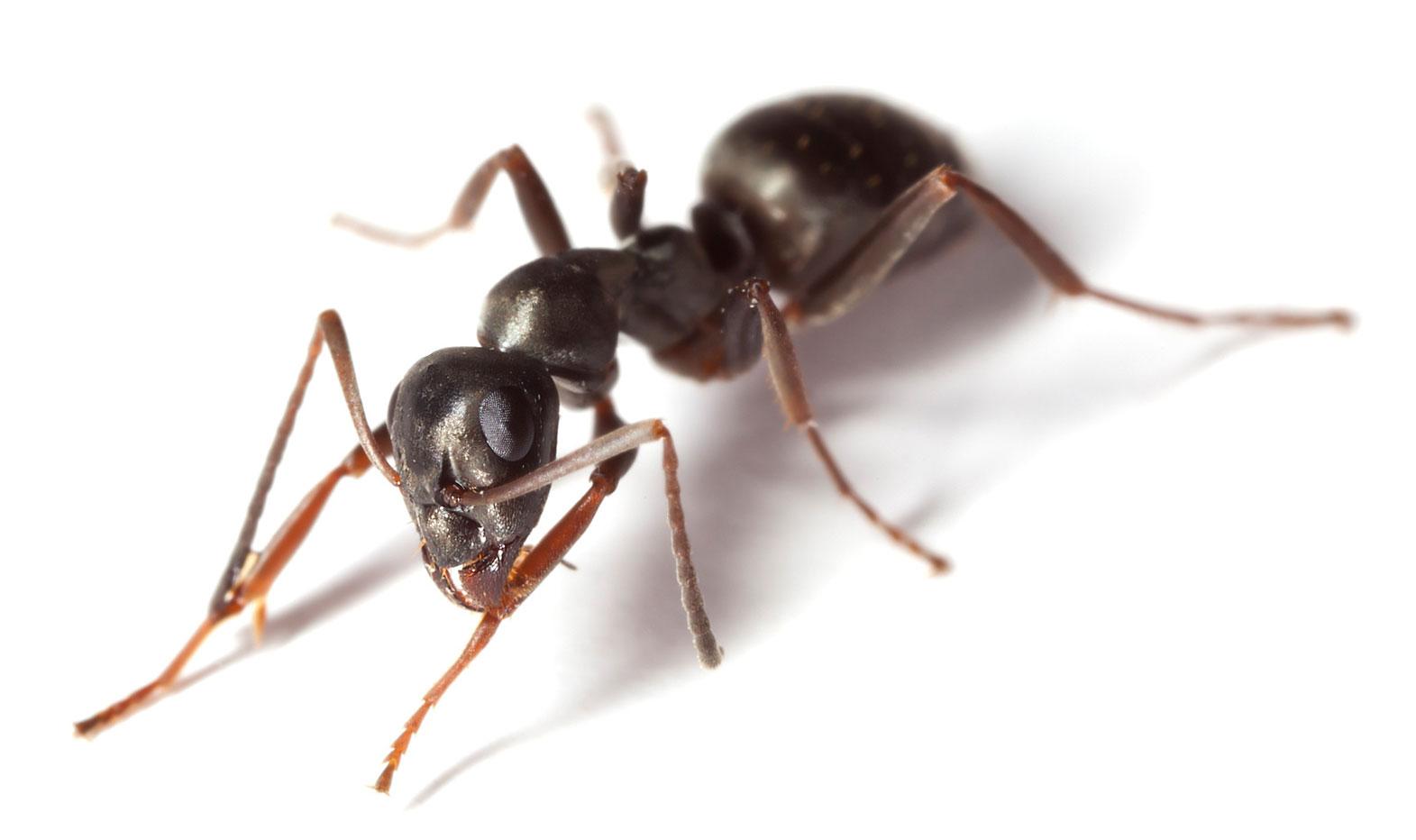 Pavement Ant.
