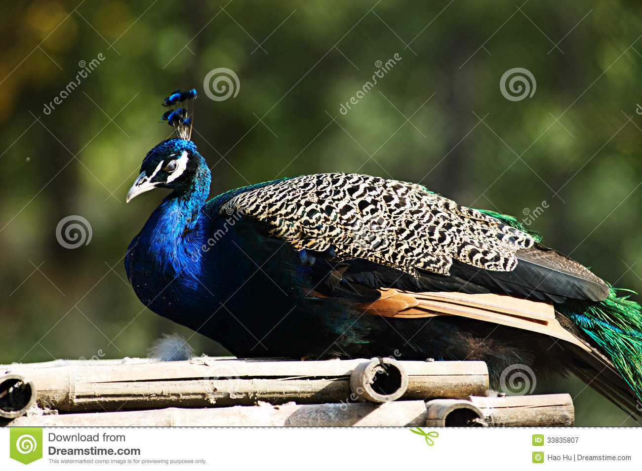 Pavo Cristatus (Blue Peacock ) Royalty Free Stock Photography.