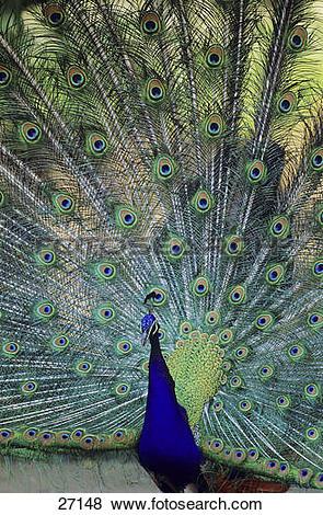 Pictures of Indian Peafowl.