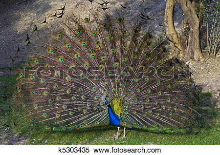 Stock Image of Indian peacock (Pavo cristatus) k5303435.