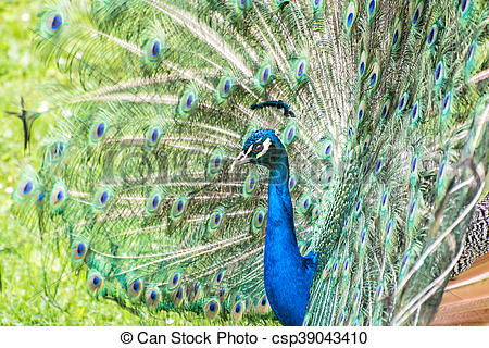 Stock Photography of Colorful Indian peafowl.
