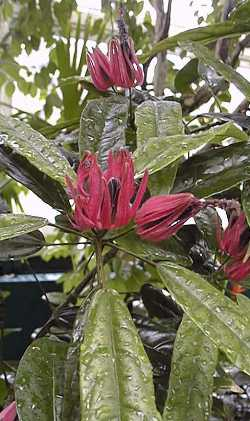 Pavonia multiflora (Brazilian candles).