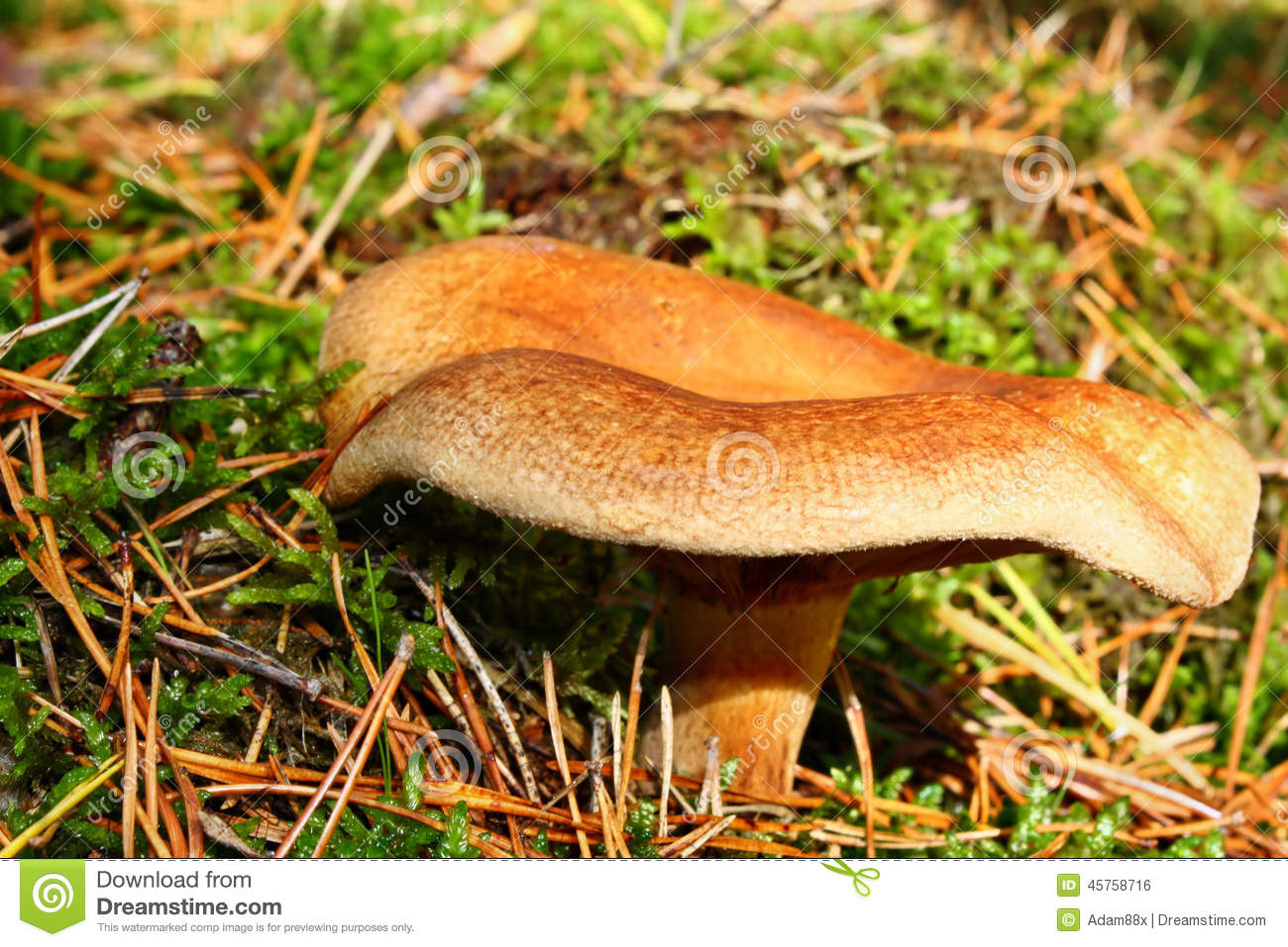 Mushroom Paxillus Involutus Stock Photo.