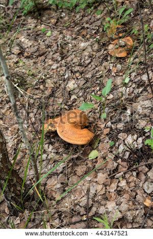 Basidiomycete Stock Photos, Royalty.