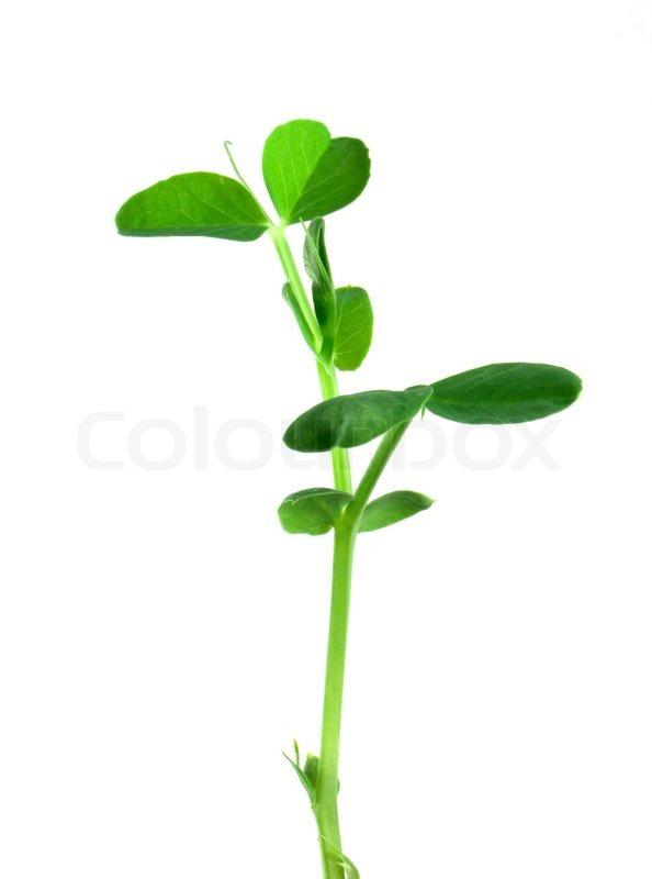 Small pea plant.