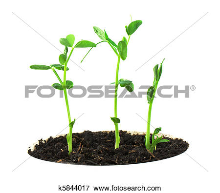 Picture of Pea plant k5844017.