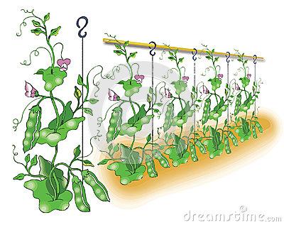 Pea Plant Clipart.