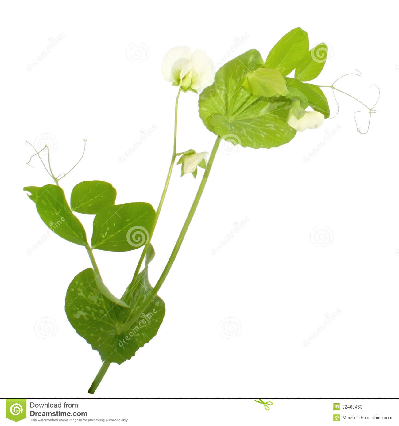 Peas Plant Stock Photos.