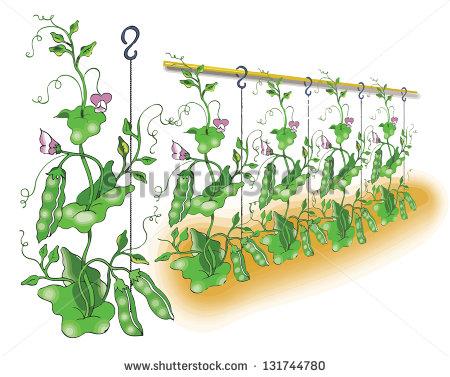 Vector green pea plant free vector download (9,610 Free vector.