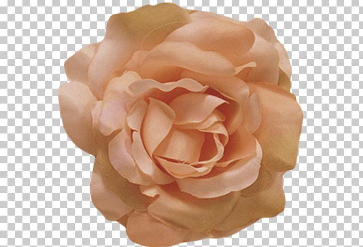 Flower Rose Petal Color Peach PNG, Clipart, Centifolia Roses.