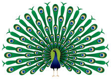 Peacock Stock Illustrations.