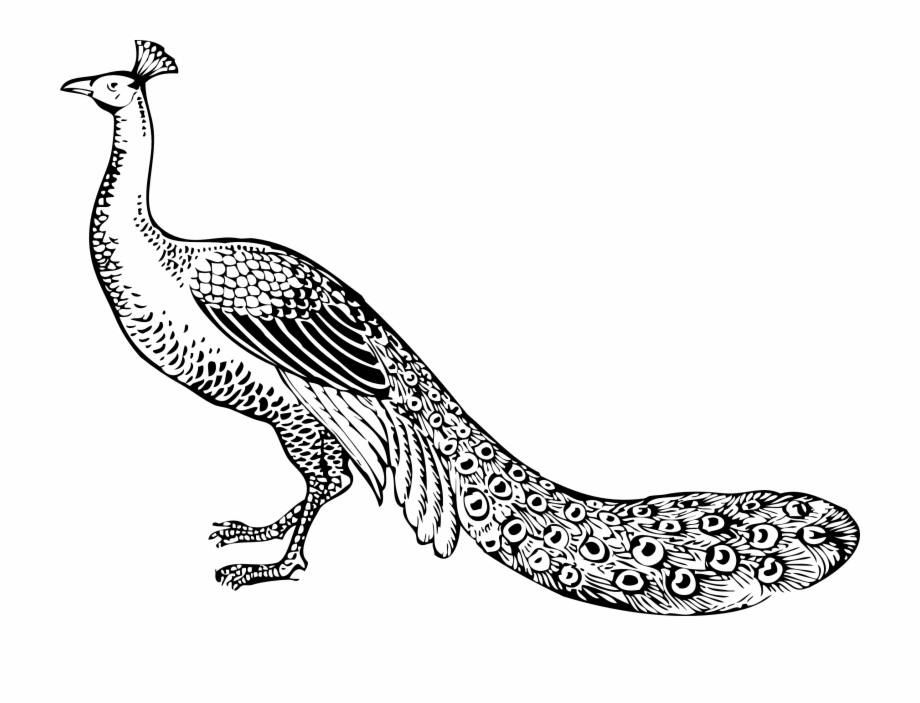 Peacock Black And White Clipart.